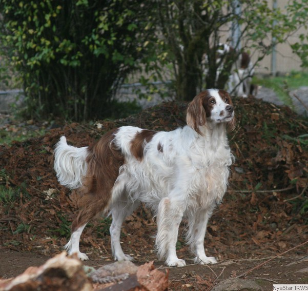 Irish Red and White Setter: Arin with Heart Litter