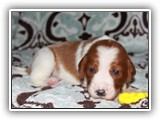 apple litter 10-8-2017 yellow boy (21)