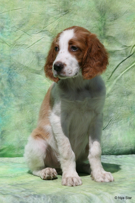 Aoife, Irish Red & White Setter